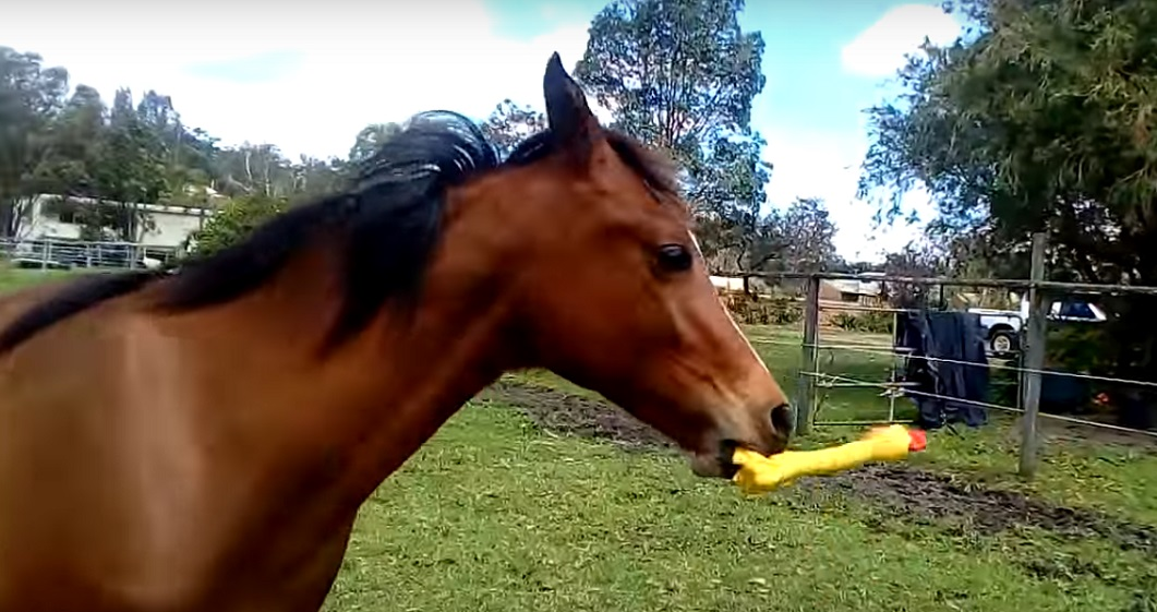 Here's a horse playing with a squeaky toy, and it's the cutest thing we've seen in a while