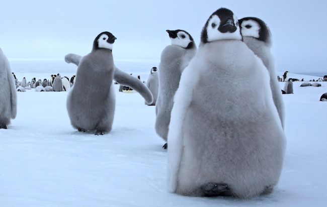 It's Penguin Appreciation Day, and thus, here are adorable videos of penguins!