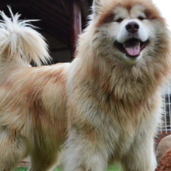 This Alaskan Malamute is the giant dog of our dreams, and we want one so bad