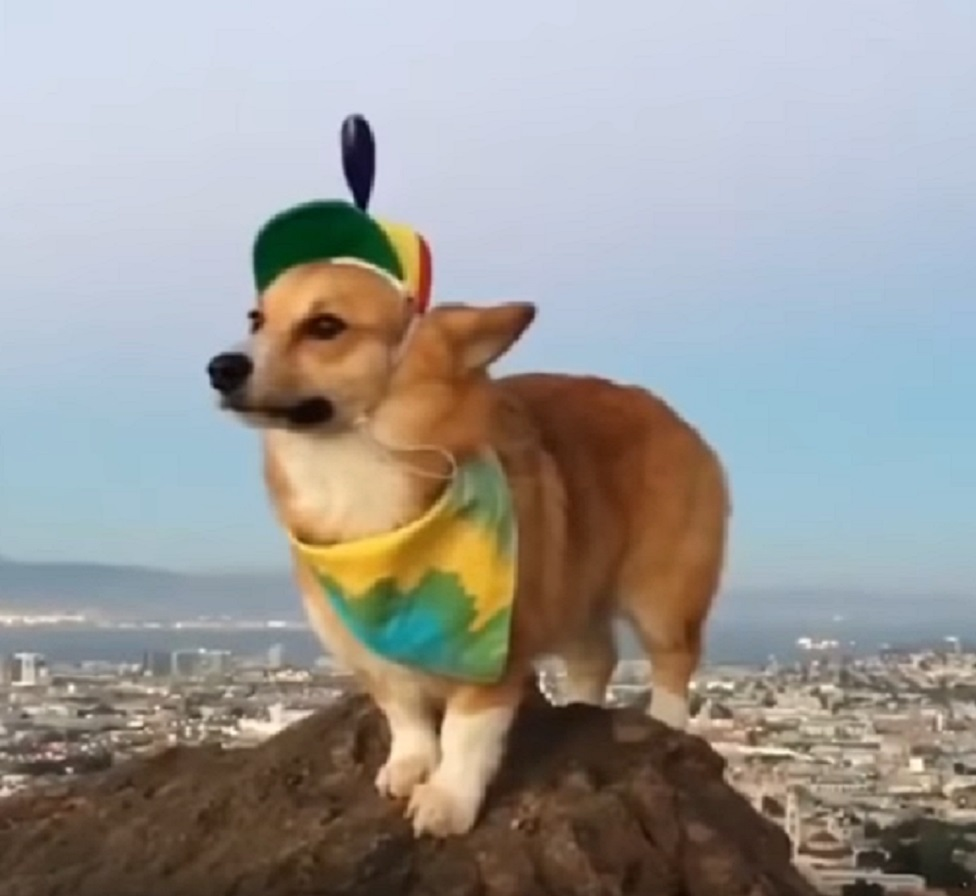 Here's a corgi wearing a propeller hat, because dogs wearing hats are just too friggin' cute