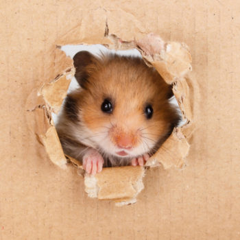 Eating an all-corn diet turned some happy hamsters into insane cannibals, and we're officially freaked