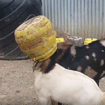 These two goats got their heads stuck in the same jar, and we're just as confused as they are
