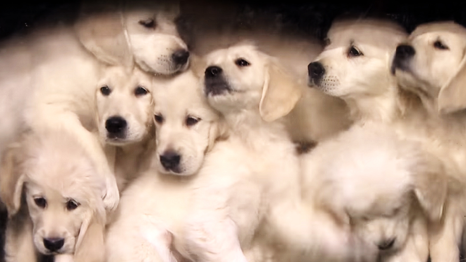 According to Jimmy Fallon's adorable puppies, here's who'll be winning the Super Bowl this weekend