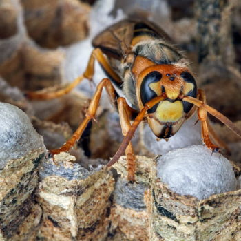 Here's a look inside a hornet's nest that you definitely shouldn't watch while eating