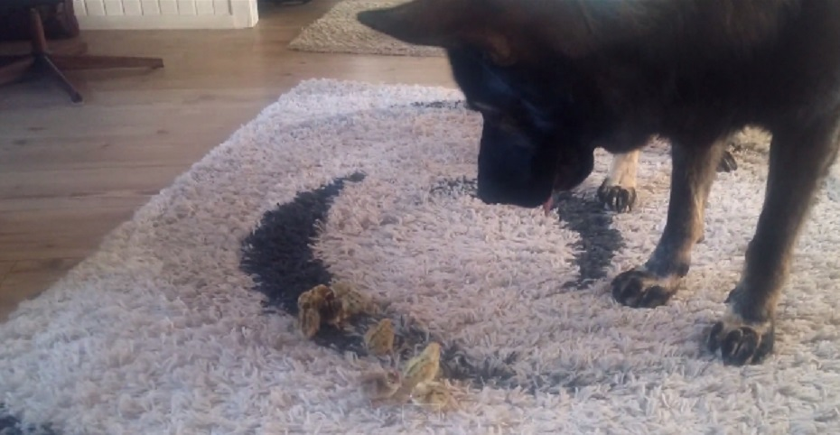 Here's a German Shepherd watching over some tiny baby birds as proof that the world isn't all bad