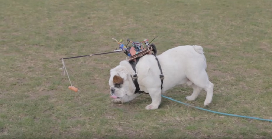 This guy tried to control his bulldog with a remote and a wiener, because the internet is a strange place