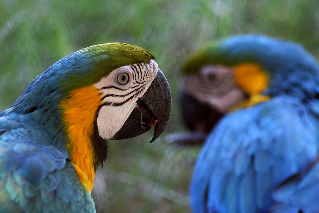 This macaw acts like a puppy to get belly rubs, which is actually pretty clever