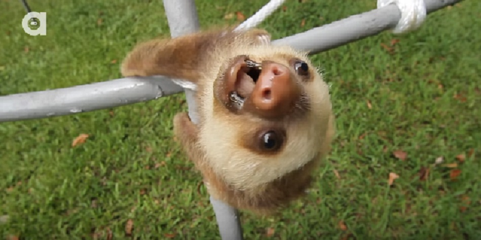 These rescued baby sloths are having a conversation that we don't understand, but it's undeniably cute