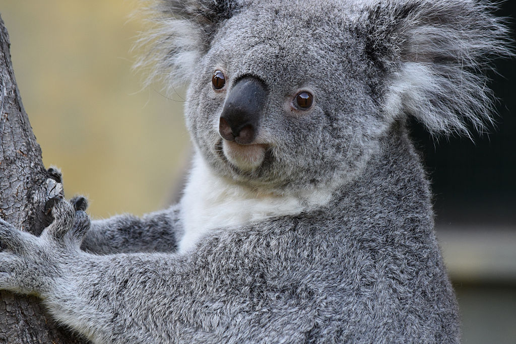 People are helping koalas stay hydrated during a heatwave, and it's pretty ridiculously adorable