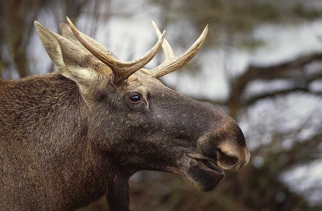 Two moose decided to duel in someone's driveway, which is, ya know, totally casual