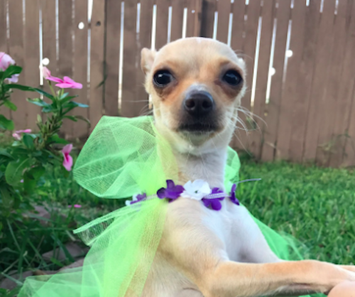 This pregnant Chihuahua had a Beyoncé-themed maternity photoshoot in a ***flawless homage to the queen