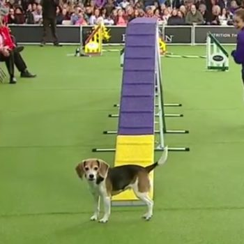 Mia the beagle was so bad at the Westminster Dog Show, but is still a very good dog