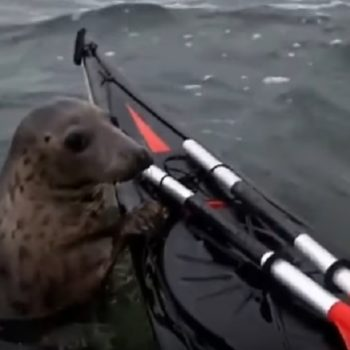 This adorable seal hitched a ride on this guy's kayak, and it's the cutest thing ever
