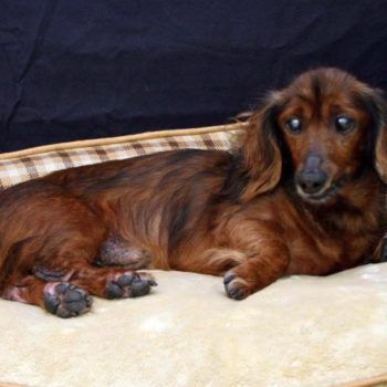 This foster parent created a bucket list for her elderly dachshund, and we're losing it