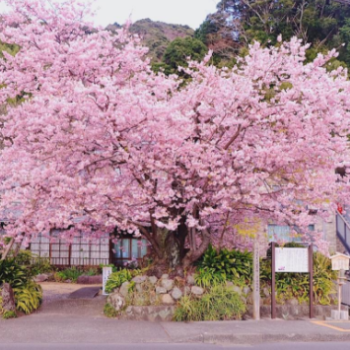 Cherry blossoms are blooming in Japan, and it's an Instagram dream come true