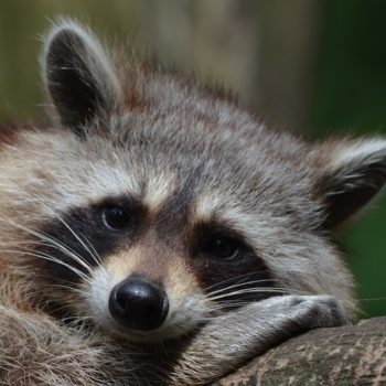 This adorable raccoon took an even more adorable accidental ride on a garbage truck