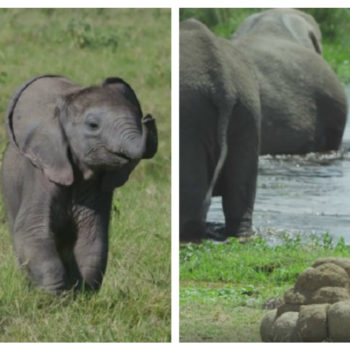 "This ""fake poop camera"" followed a lost baby elephant that was separated from its mom"