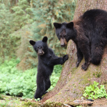 This mama bear carried her terrified cub across a stream, because adulting can get kinda scary
