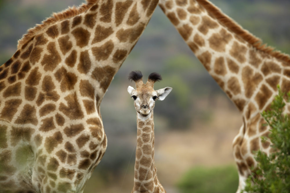 Everyone is obsessed with this giraffe about to give birth, and you're about to join them!