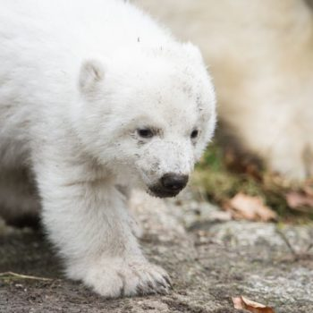 Here's an adorable polar bear cub taking her first steps, because you deserve to see this