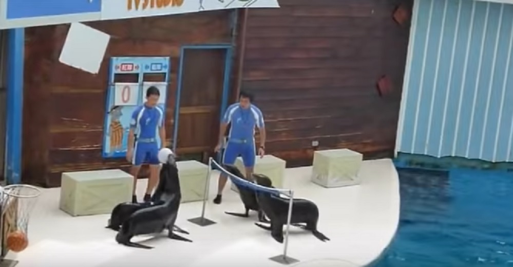 So, these sea lions play volleyball better than most humans, and we're dying to get on their team
