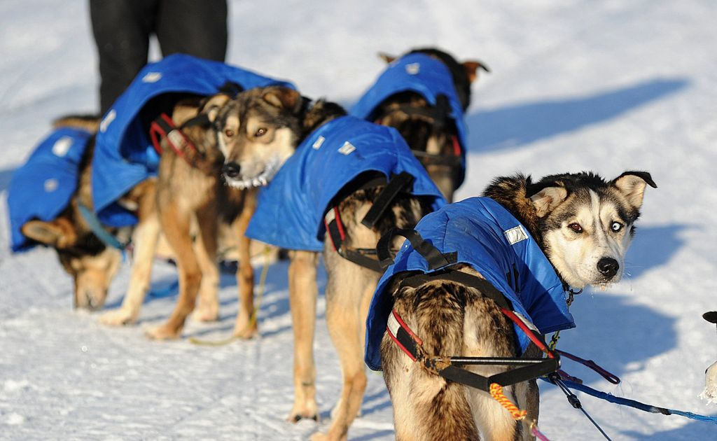 Just about a million dogs getting ready for the Iditarod sled-dog race