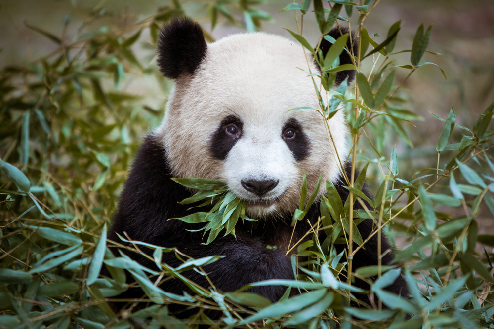 We now know why pandas are black and white, and it's pretty black and white, tbh