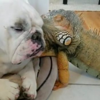 Here is a bulldog and an iguana taking a nap together as evidence that peace on earth is possible