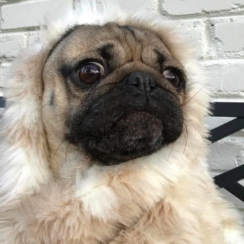 """Doug the Pug roleplays as our favorite """"Beauty and the Beast"""" characters, we melt"""