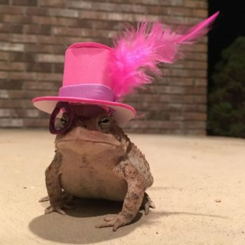 Someone wonderful has made couture hats for tiny, tiny toads