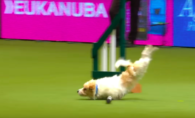 "Olly the Jack Russell Terrier turned a dog show into an episode of ""American Ninja Warrior"""