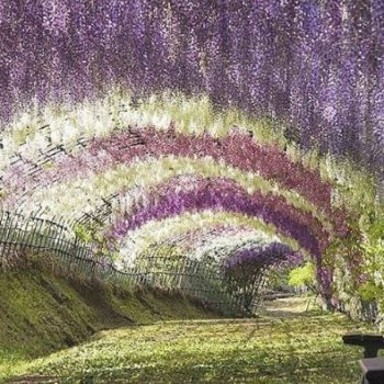 This flower tunnel in Japan looks like a scene straight out of a fairytale