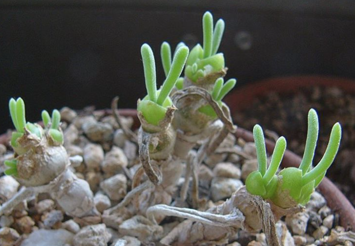 These succulents look like lil' bunnies throwing up peace signs