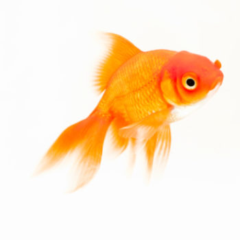 Someone made this goldfish a wheelchair, and it will remind you that the world can be good