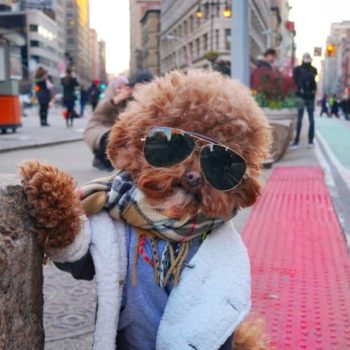 This Insta-famous poodle has more lewks than Carrie Bradshaw