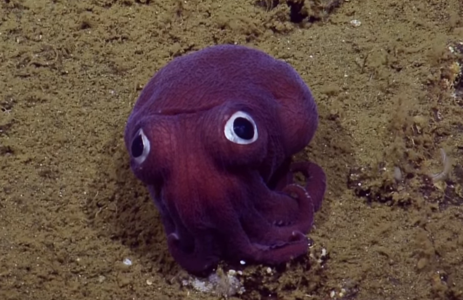 This googly-eyed stubby squid is giving scientists the giggles