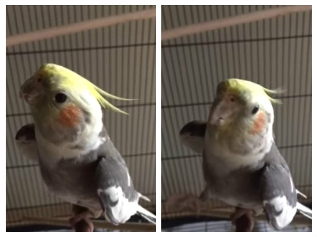 Here's a rescue bird singing Mozart and stealing our hearts one beautiful note at a time