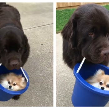 Here's a big dog carrying a tiny dog in a bucket, aka, the cutest thing that's ever happened in life