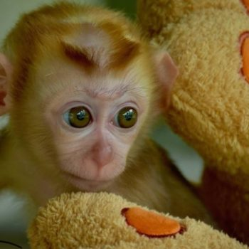 This grieving baby monkey clutching a teddy bear will definitely pull at your heartstrings