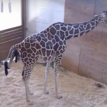 April the Giraffe is giving birth RIGHT NOW!