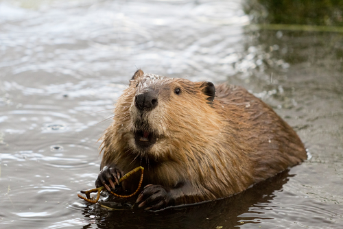 This beaver unintentionally herded 150 cows, and he is adorably perplexed