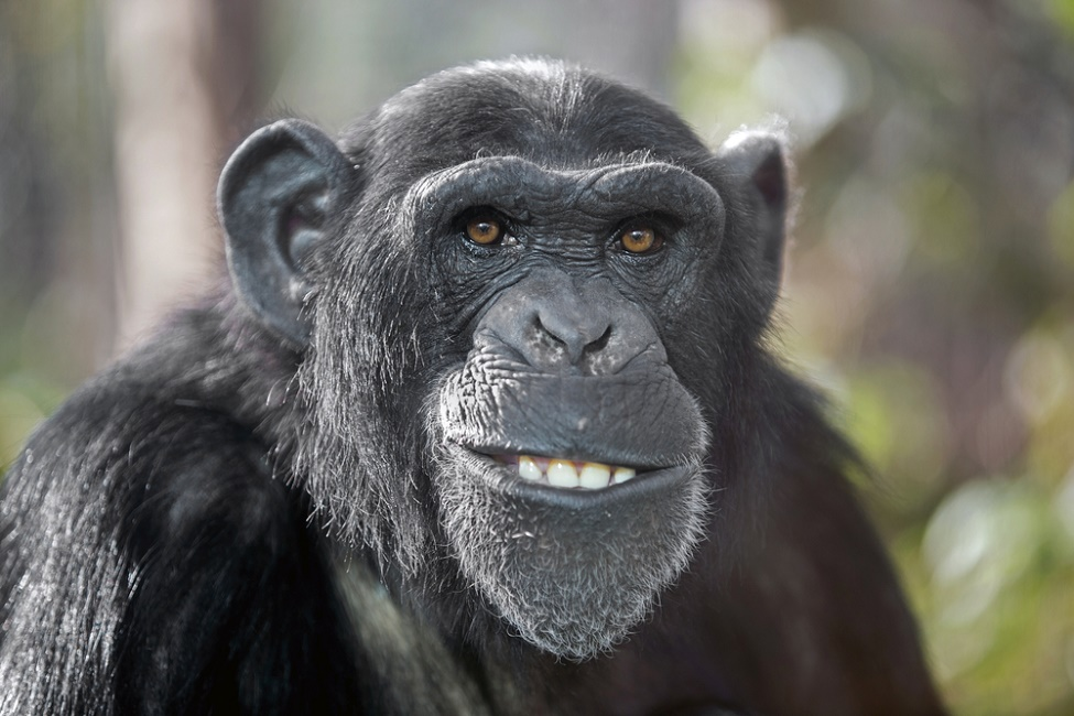 "This chimp stole a camera from ""The New York Times"" in order to take a few selfies"