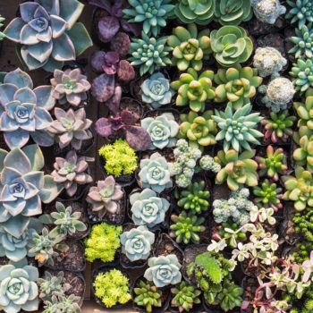 Amazon now delivers succulents in case you want a super easy way to celebrate Earth Day