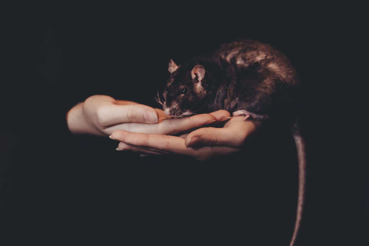 Female rats have a very ~creative~ approach to getting the sex they want