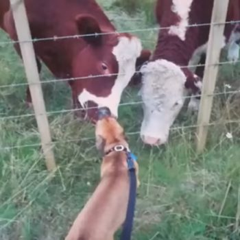 This dog and cow can't stop licking each other because animals love PDA, too