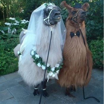This is not a drill: You can now rent *llamas* to attend your wedding
