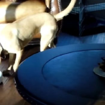 This dog turning off a Roomba has zero sympathy for the human housework struggle