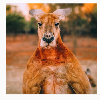People in Australia want to build a statue to honor this kangaroo body builder
