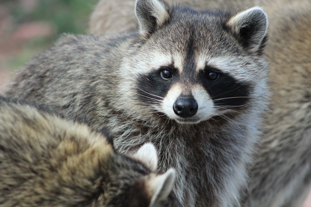 "This raccoon basically pulled off a ""Mission: Impossible"" stunt in an airport"