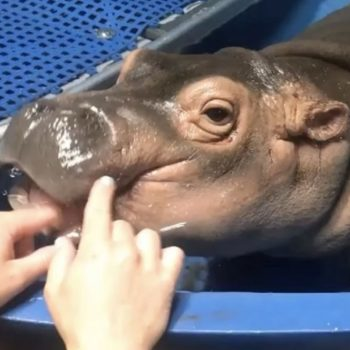 Here's a teething baby hippo enjoying a gum massage, which is the cutest thing that's ever happened